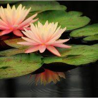 water lilies - Diana Kehoe